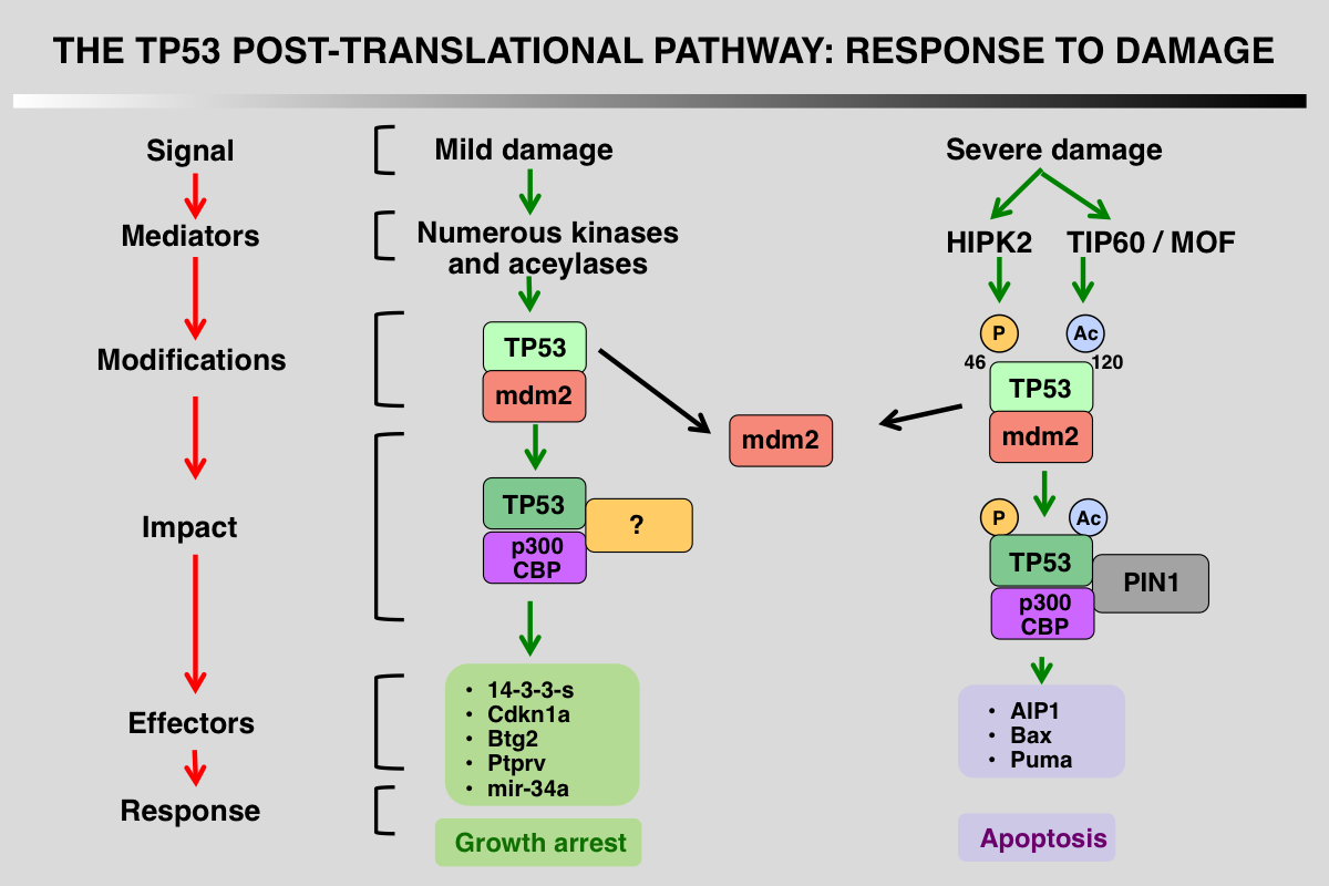 TP53 PTM pathways 1