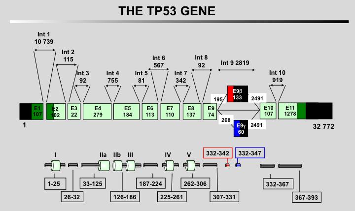 The TP53 Website - Mutant TP53 an Oncogene!