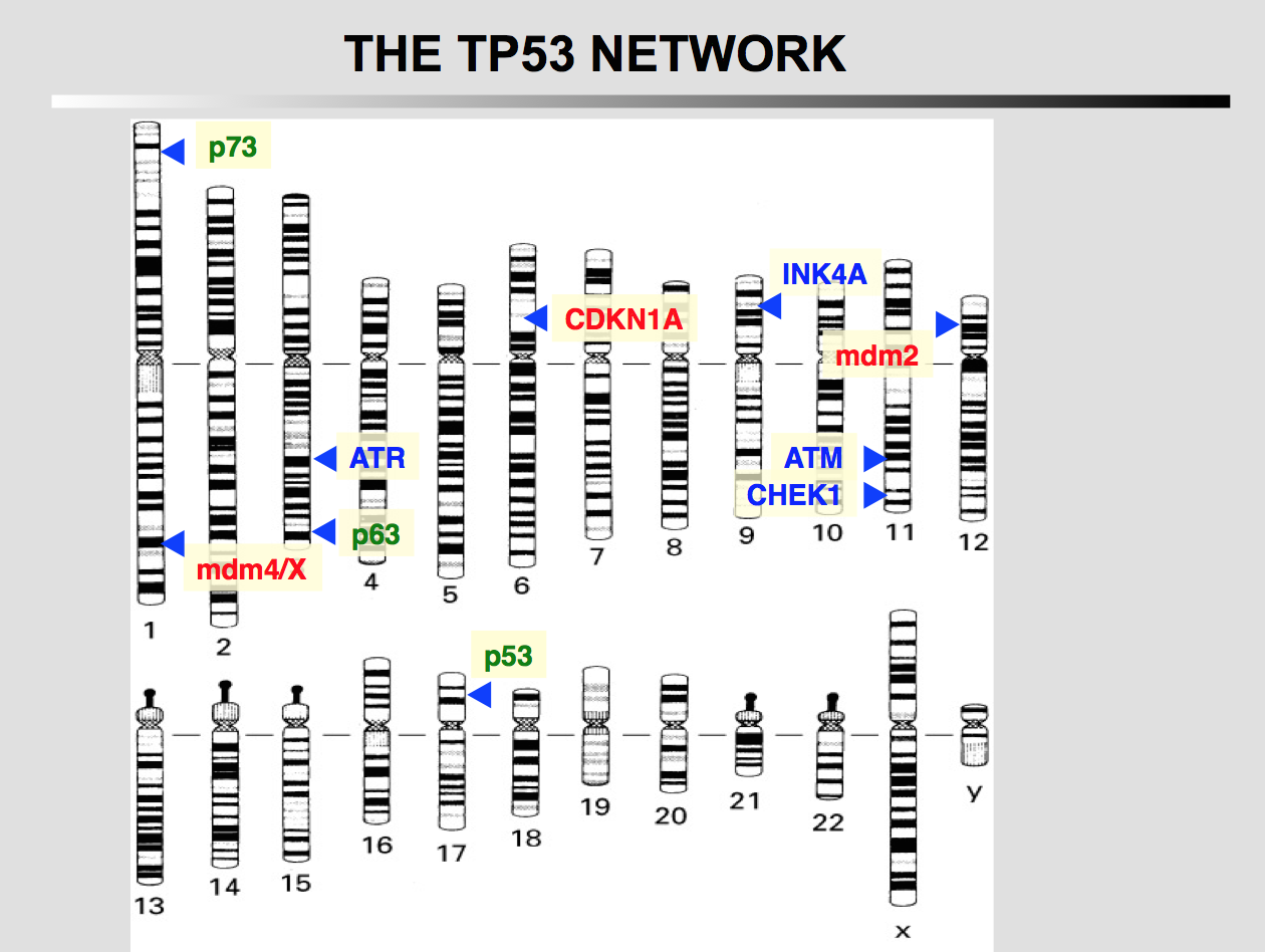 TP53 network
