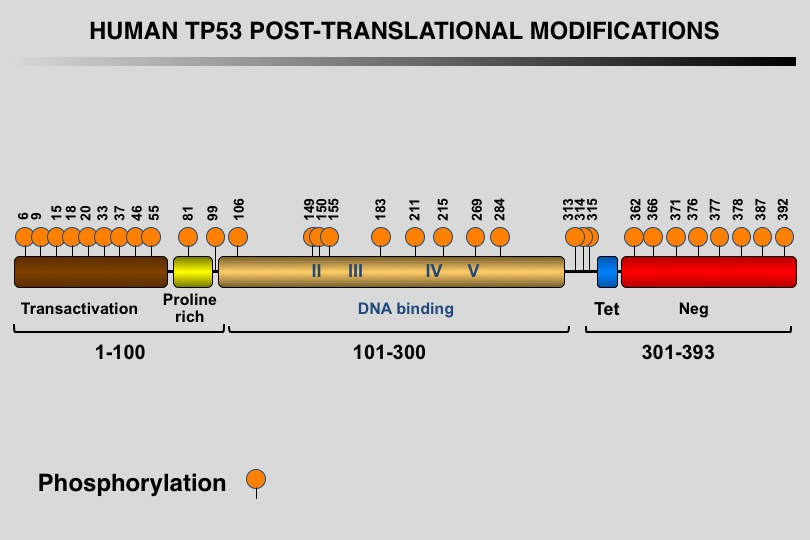 TP53 phosphorylation